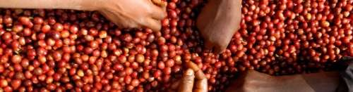 čerstvé ovoce kávy